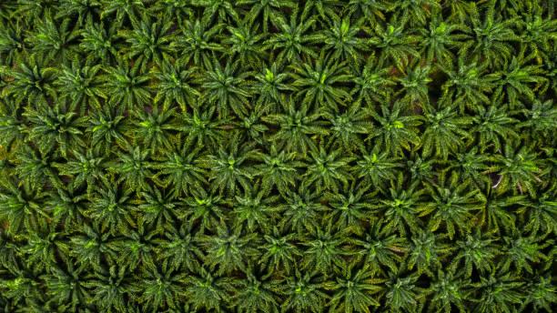 aerial top view on plantation of palm trees texture background. - oleo palma imagens e fotografias de stock