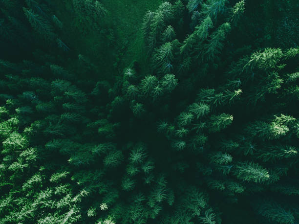 Aerial top view pine forest. Texture of coniferous forest view from above. stock photo