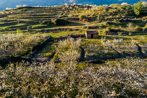 Aerial view blooming cherry fields with farmhouses in spring in the Valle del Jerte_Spain