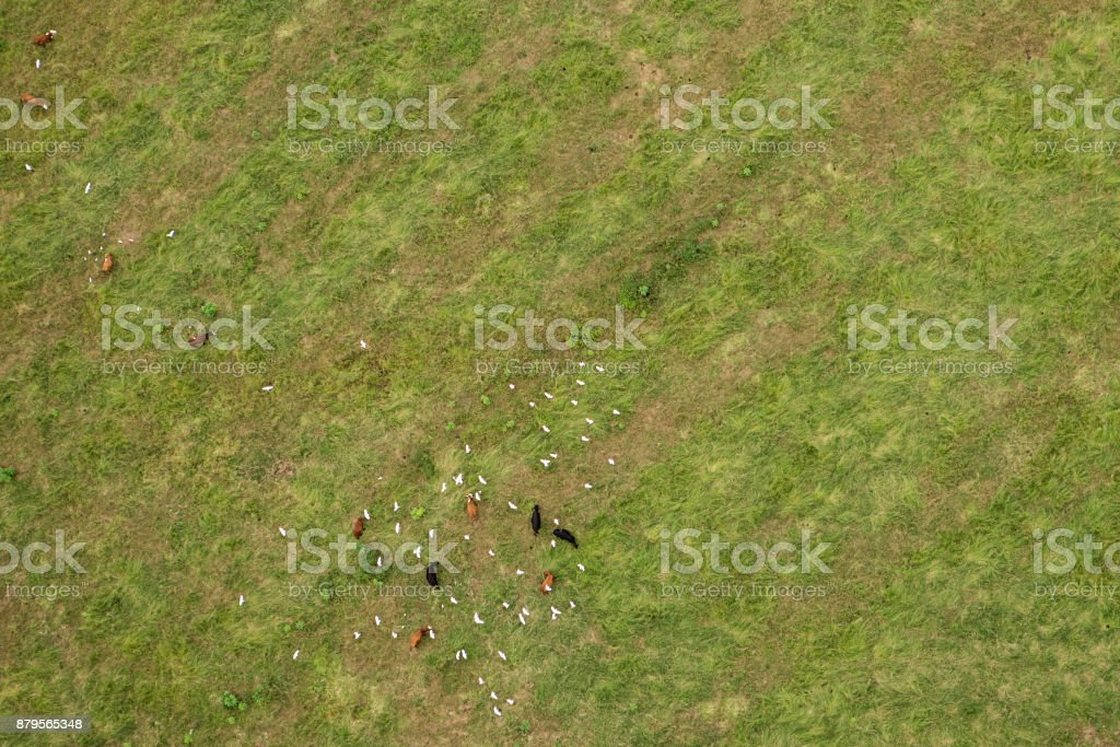 Aerial view from Hot Air Balloon of cows and birds on green field stock photo