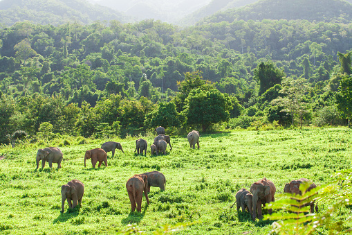 istock Aerial view landscape, A herd of Wild Asian Elephant in the grassland in rainy season. Green and lush evergreen forest, mountains backgrounds. Kui Buri National Park, Prachuap Khiri Khan, Thailand. Bright sunlight. Copy space. 1066227806