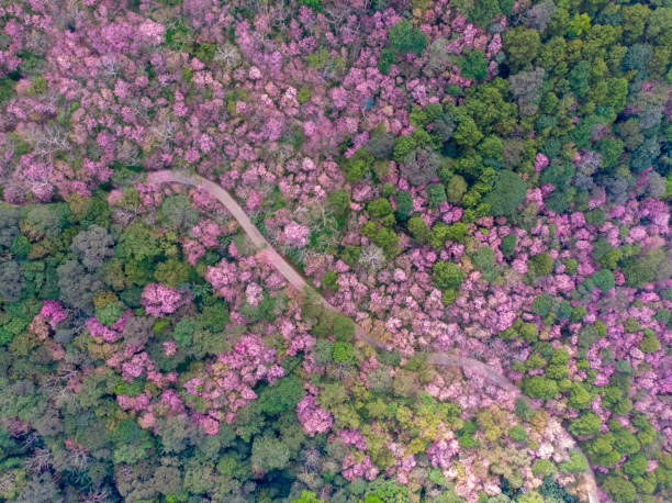 Aerial view landscape of Pink flower sakura cherry blossom tree with winding road by drone.Scenery of pink flower blooming in the mountain. stock photo
