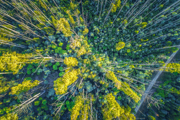 aerial view - looking down at eucalyptus tree tops - victoria australia foto e immagini stock