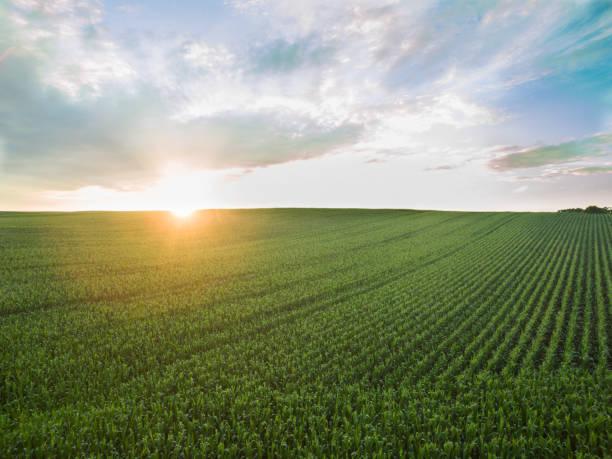 Blick auf einen wunderschönen Sonnenuntergang über grünen Mais - landwirtschaftliche Felder – Foto