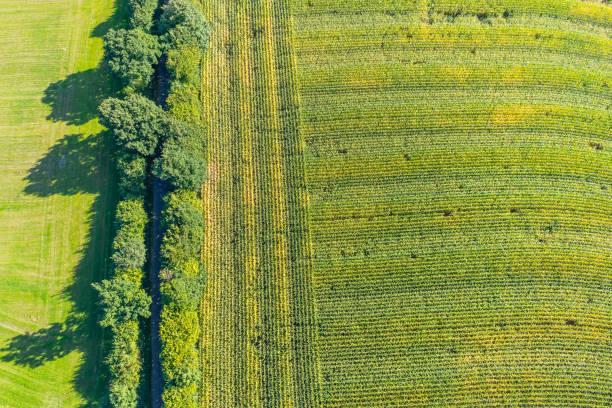 luftaufnahme eines maisfeldes - tim siegert stock-fotos und bilder