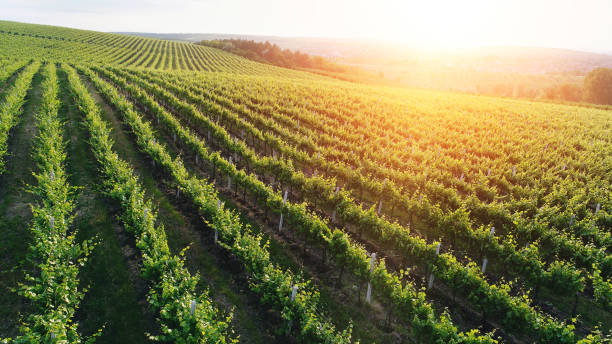 aerial view  of a green summer vineyard at sunset - moldova stock pictures, royalty-free photos & images