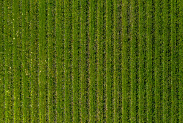 aerial view of a green vineyard aerial view of a green vineyard in catalonia. Spain monoculture stock pictures, royalty-free photos & images