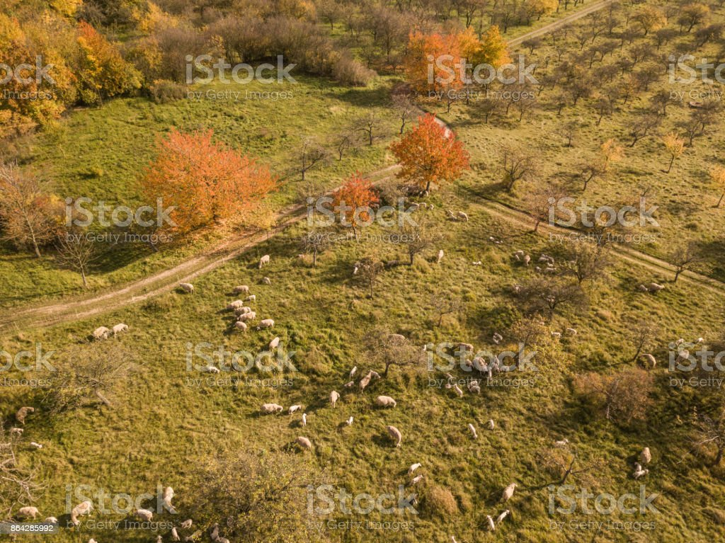 Aerial view of a group of sheeps at autumn, Germany royalty-free stock photo