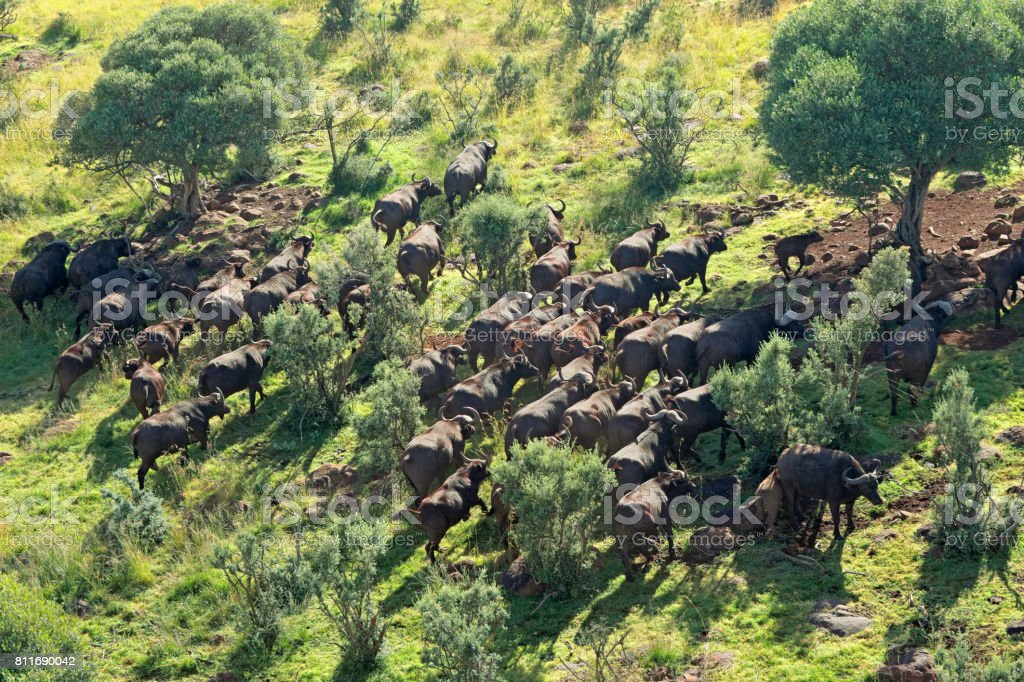 Aerial view of a herd of African or Cape buffaloes stock photo