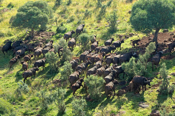 aerial view of a herd of african or cape buffaloes - wildlife conservation stock photos and pictures