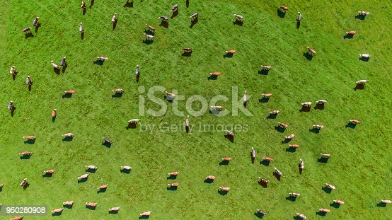 istock Aerial view of a meadow with cows 950280908