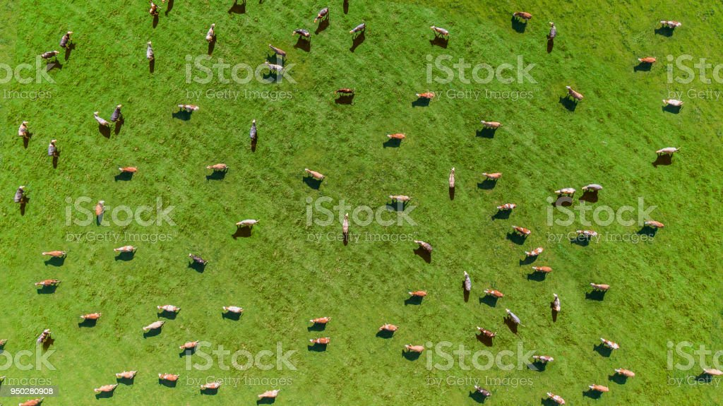 Aerial view of a meadow with cows stock photo