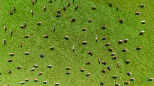 Aerial view of a meadow with cows A meadow with many cows taken from the air with a drone. Aerial view direct from above dairy farm stock pictures, royalty-free photos & images