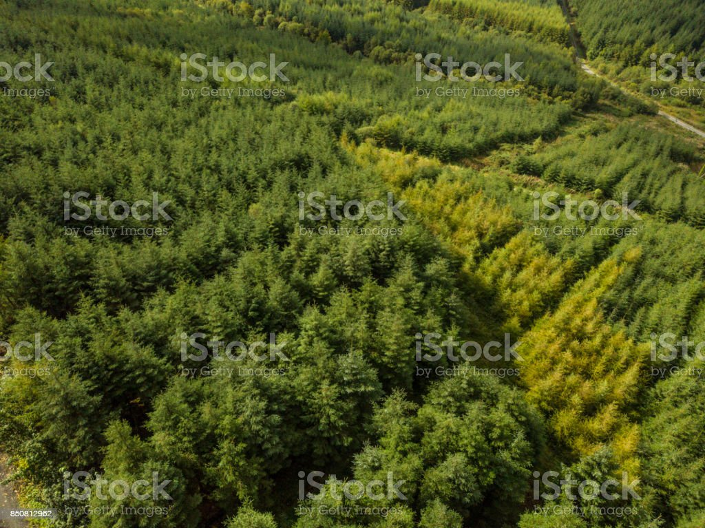 Aerial view of a pine forest and trail stock photo
