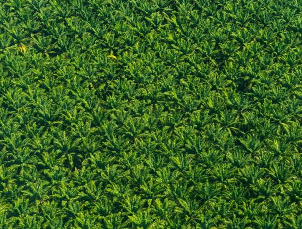 aerial view of african palm trees - oleo palma imagens e fotografias de stock