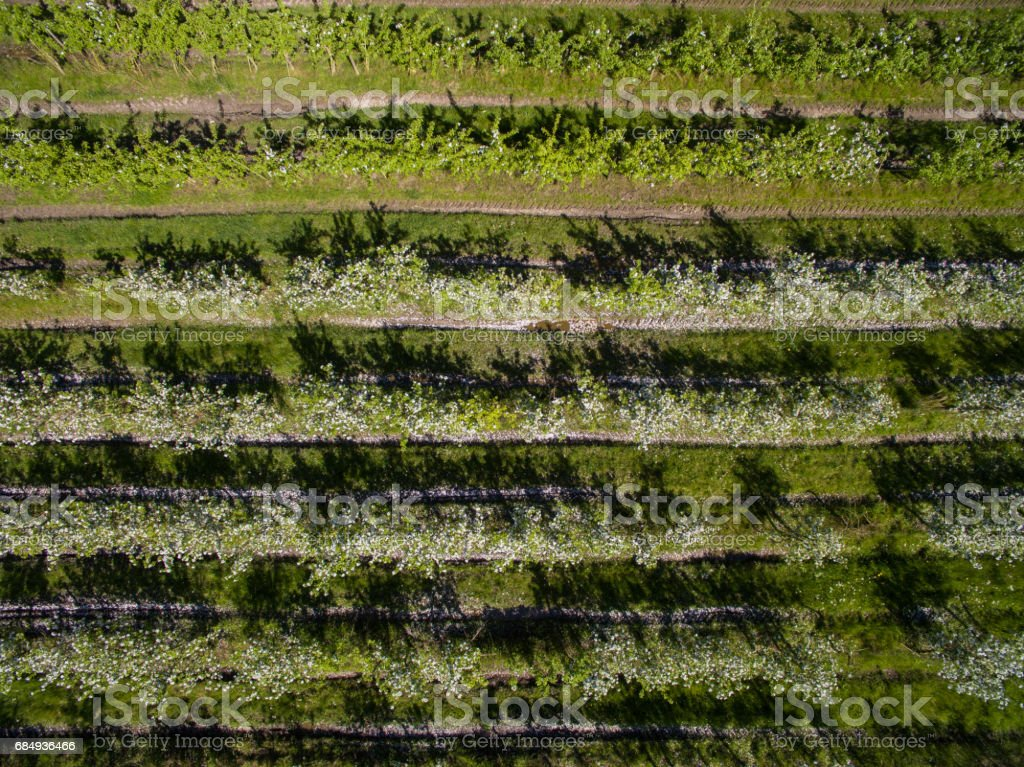 Aerial view of apple fruit trees with white flowers on a plantage in spring Lizenzfreies stock-foto