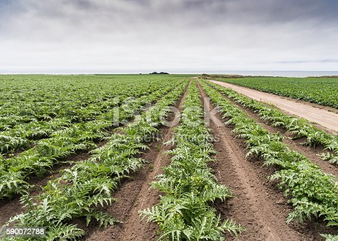 Areial view of field of artichoke (Cynara cardunculus) plants on Californai coastal farm, with ocean in background.