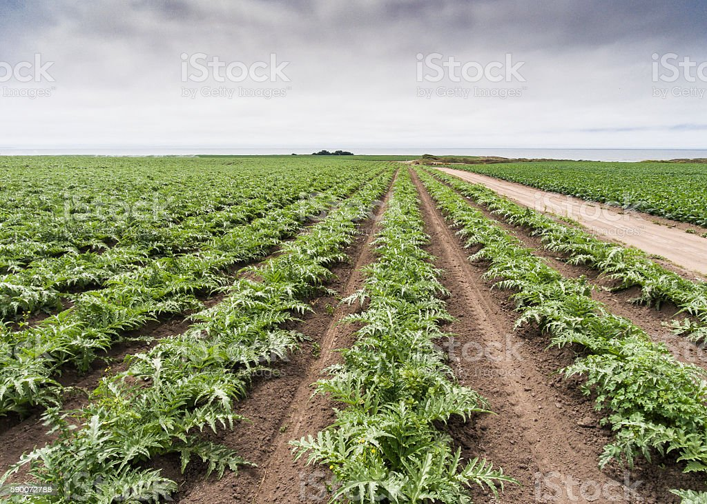 Aerial View of Artichokes Growing on Coastal Farm - foto de stock
