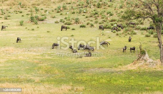 1137909085 istock photo Aerial view of blue wildebeest, common wildebeest or brindled gnu in bush grasslands in Delta Okavango, Botswana, Africa 1084989088