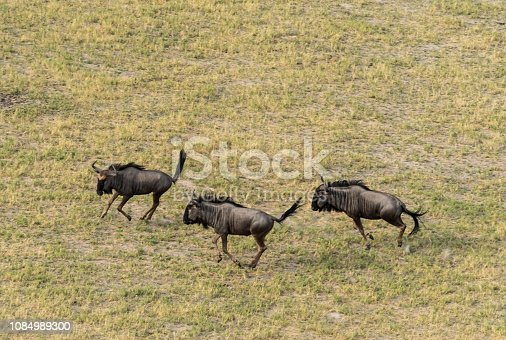 1137909085 istock photo Aerial view of blue wildebeest, common wildebeest or brindled gnu in bush grasslands in Delta Okavango, Botswana, Africa 1084989300