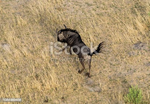 1137909085 istock photo Aerial view of blue wildebeest, common wildebeest or brindled gnu in bush grasslands in Delta Okavango, Botswana, Africa 1084989458
