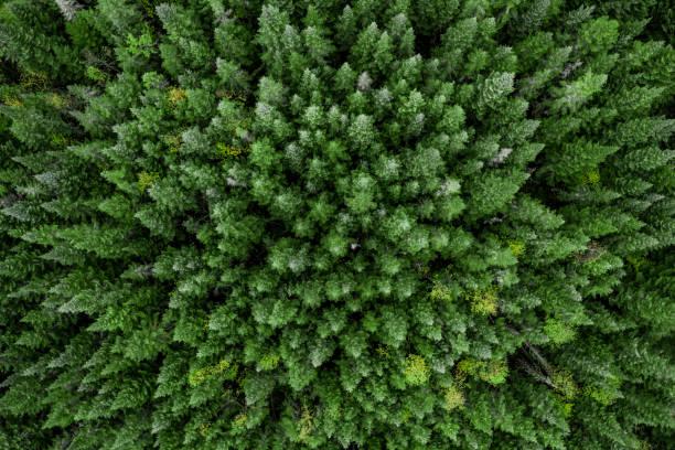 flygfoto över boreala skogen naturen i höst säsongen, quebec, kanada - forest bildbanksfoton och bilder
