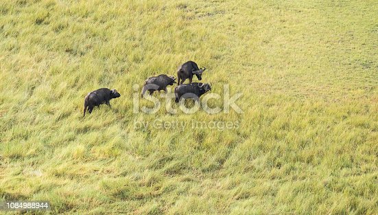 1137909085 istock photo Aerial view of buffalo in bush grasslands in Delta Okavango, Botswana, Africa 1084988944