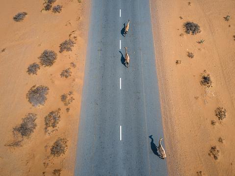 Aerial drone top view of camels walking free on the desert road in the desert in United Arab Emirates UAE desert near Dubai