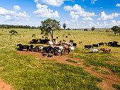 Aerial view of cattle herd on the farm in Mato Grosso do Sul, Brazil. Livestock concept.