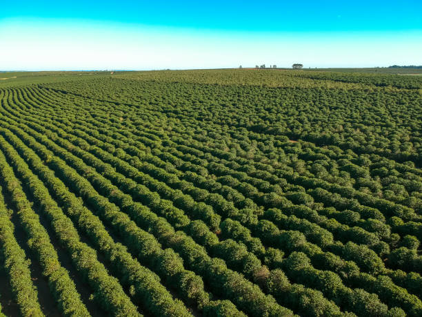 Aerial view of coffee field on farm in Brazil stock photo