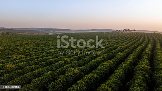 Aerial view of coffee plantation. Sunrise.