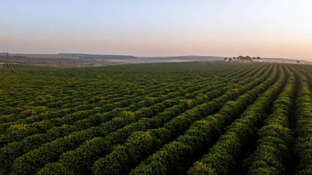 luftaufnahme der kaffeeplantage. sonnenaufgang - plantage stock-fotos und bilder