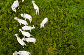 Aerial View of Cows in a Farm