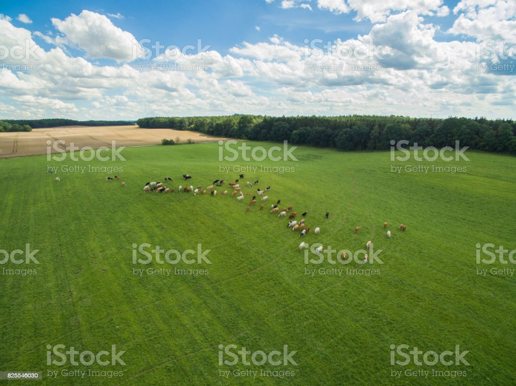 aerial view of cows in a herd on a green pasture with cloudy blue sky in the summer stock photo