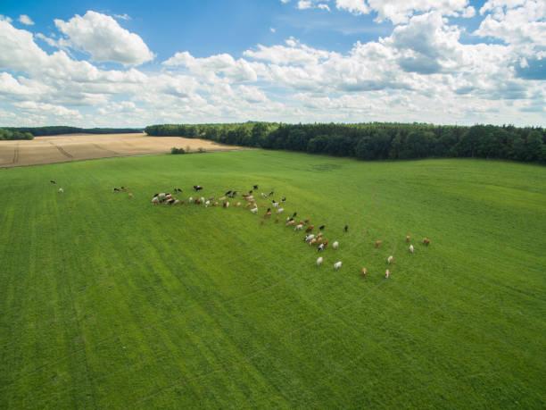 Luftaufnahme der Kühe in der Herde auf einer grünen Weide mit bewölkten blauen Himmel im Sommer – Foto