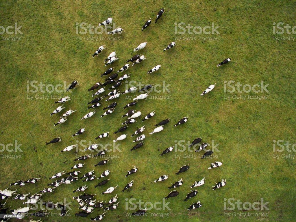 Luftaufnahme der Kühe in der Herde auf der grünen Weide in Deutschland – Foto
