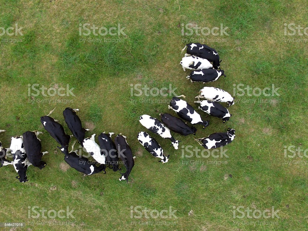 Aerial view of cows in the pasture - germany – Foto