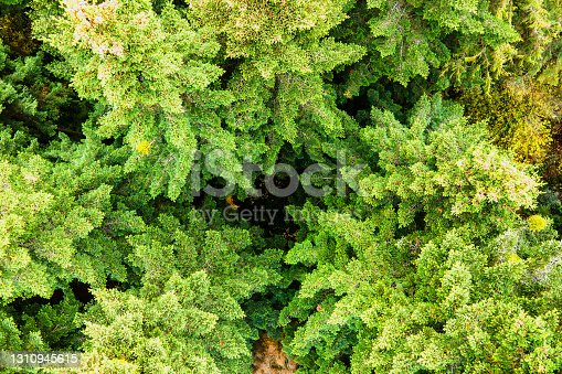 Aerial view of dense green pine forest with canopies of spruce trees and colorful lush foliage in autumn mountains.