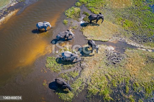 Aerial view of a group of African elephants (Loxodonta africana) in Khwai river, Moremi National Park in Okavango Delta, Botswana, Africa.