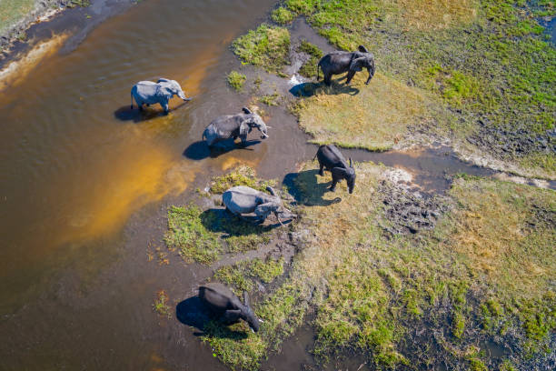 """Aerial view of elephants, Okavango Delta, Botswana, Africa Aerial view of a group of African elephants (Loxodonta africana) in Khwai river, Moremi National Park in Okavango Delta, Botswana, Africa. wildlife or """"wild animal"""" stock pictures, royalty-free photos & images"""