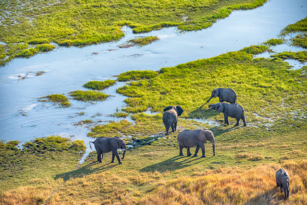 Aerial view of elephants, Okavango Delta, Botswana, Africa stock photo