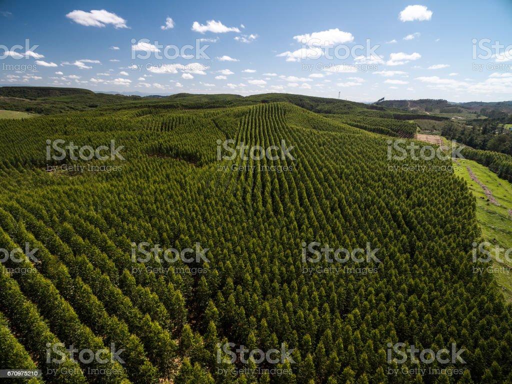 Aerial View of Eucalyptus Forest, Sao Paulo, Brazil stock photo