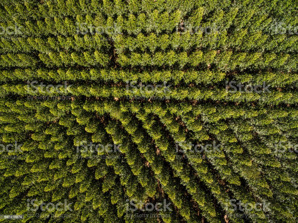 Aerial View of Eucalyptus Forest, Sao Paulo, Brazil stock photo