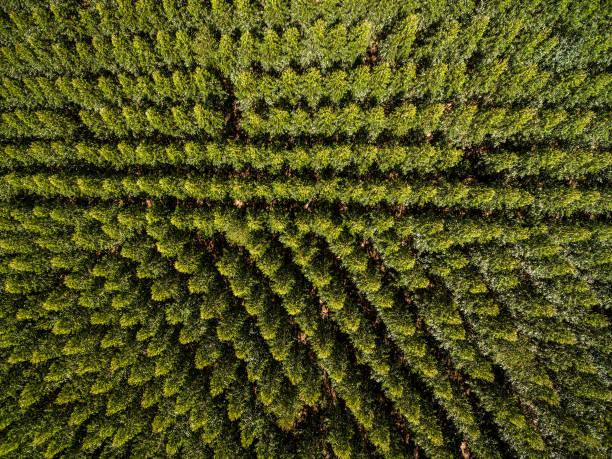 luchtfoto van eucalyptusbos, sao paulo, brazilië - herbebossing stockfoto's en -beelden