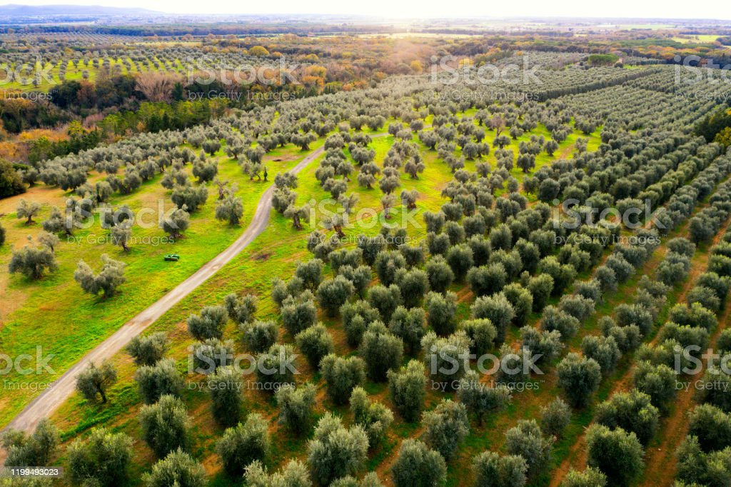 Aerial view of footpath amongst olive trees Aerial view of footpath amongst olive trees Abundance Stock Photo