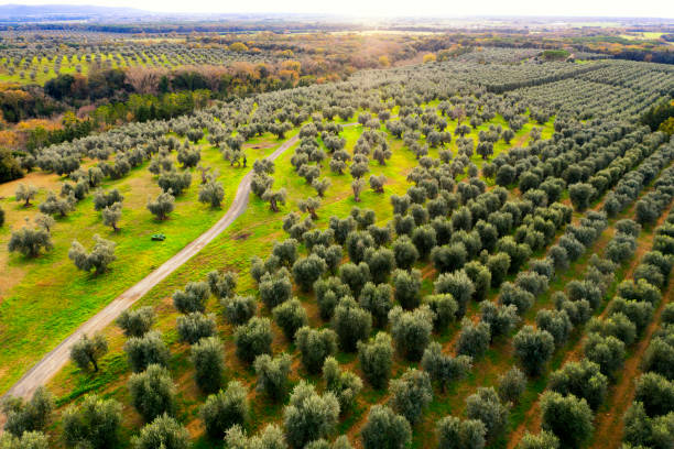 Aerial view of footpath amongst olive trees Aerial view of footpath amongst olive trees monoculture stock pictures, royalty-free photos & images