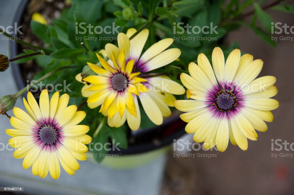 Aerial view of fully developed yellow daisies in a garden pot photo libre de droits