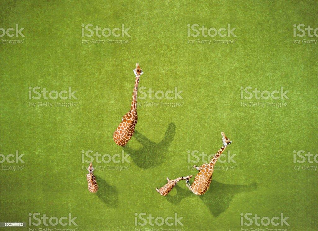 Aerial view of Giraffes stock photo