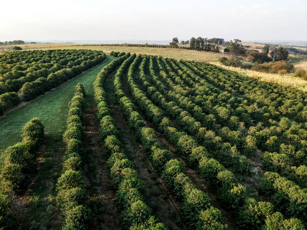 aerial view of green coffee field in Brazil stock photo