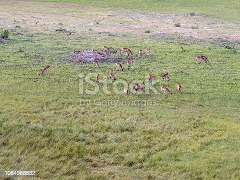 1137909085 istock photo Aerial view of impalas in bush grasslands in Delta Okavango, Botswana, Africa 1084988832